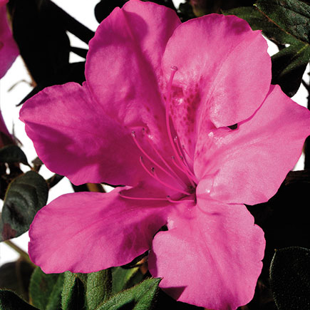 https://johnson-nursery.com/azalea-autumn-sangria/